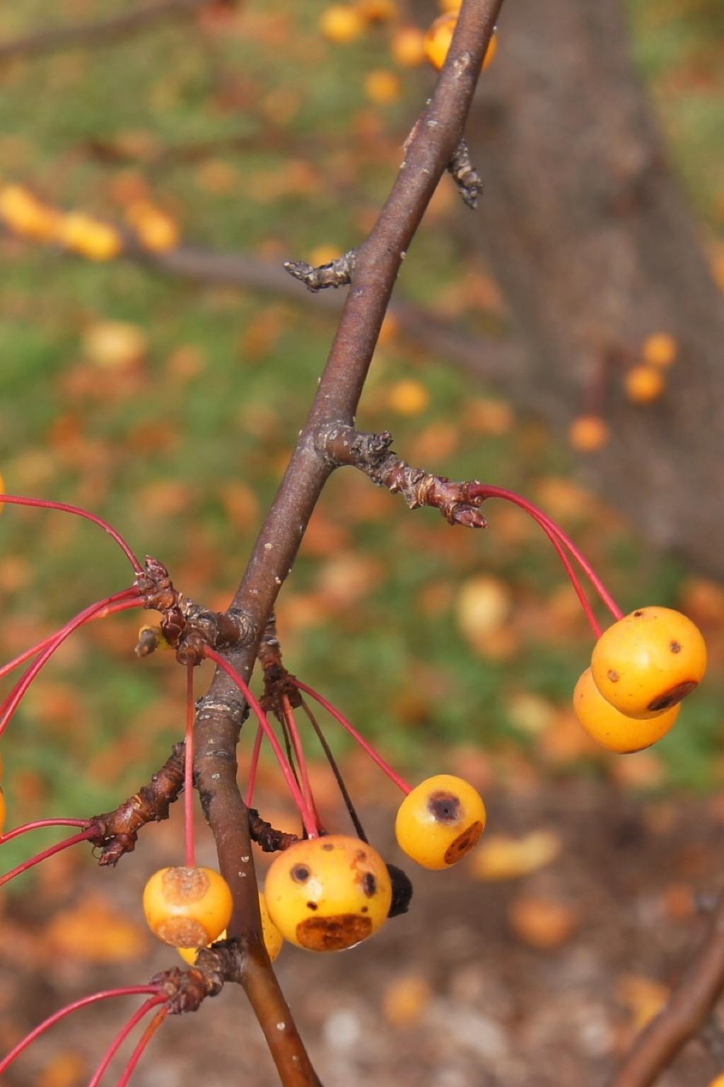 Malus 'Pumpkin Pie' (Pumpkin Pie Crabapple), bark, twig