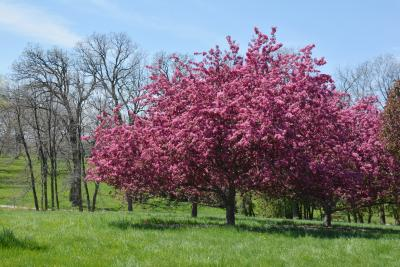 Malus 'Selkirk' (Selkirk Crabapple), habit, spring