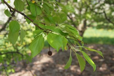 Malus 'Silver Moon' (Silver Moon Crabapple), leaf, spring