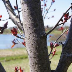 Malus 'Thunderchild' (Thunderchild Crabapple), bark, branch