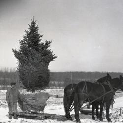 Moving evergreens short distance on mule-drawn skid