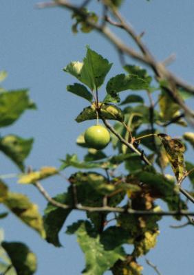 Malus coronaria (Wild Sweet Crabapple), fruit, mature