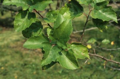 Malus coronaria (Wild Sweet Crabapple), leaf, summer
