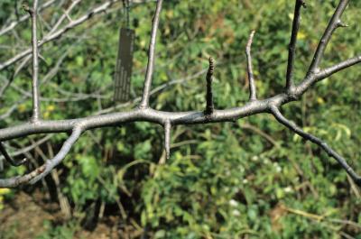 Malus coronaria (Wild Sweet Crabapple), bark, twig