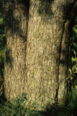 Malus pumila (Common Apple), bark, trunk