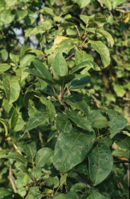 Malus pumila (Common Apple), leaf, summer