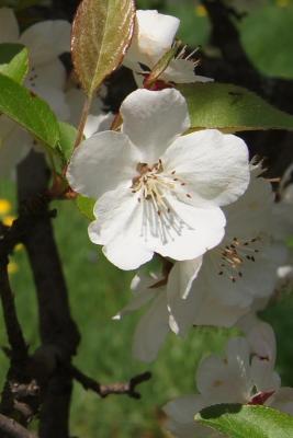 Malus hupehensis (Tea Crabapple), flower, full