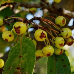 Malus hupehensis (Tea Crabapple), fruit, immature
