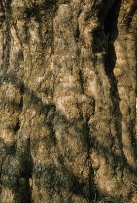 Malus pumila (Common Apple), bark, mature