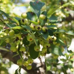 Malus hupehensis (Tea Crabapple), infructescence