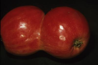 Malus pumila (Common Apple), fruit, double