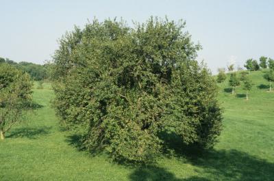 Malus pumila (Common Apple), habit, summer