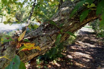 Malus hupehensis (Tea Crabapple), bark, trunk