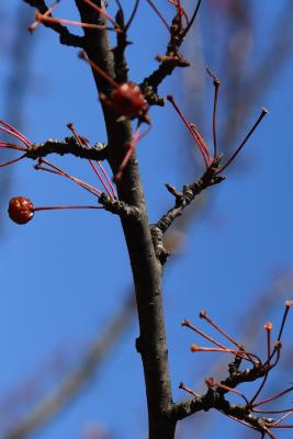 Malus hupehensis (Tea Crabapple), bark, twig
