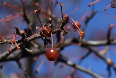 Malus hupehensis (Tea Crabapple), fruit, mature