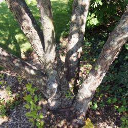 Malus hupehensis (Tea Crabapple), bark, mature