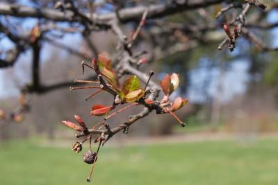 Malus hupehensis (Tea Crabapple), leaf, spring