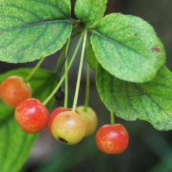 Malus sargentii (Sargent's Crabapple), fruit, immature