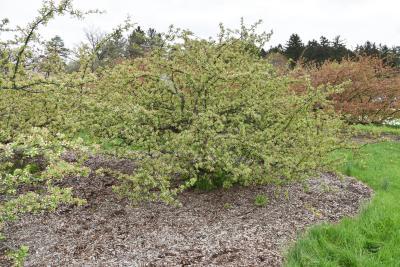 Malus sargentii (Sargent's Crabapple), habit, spring