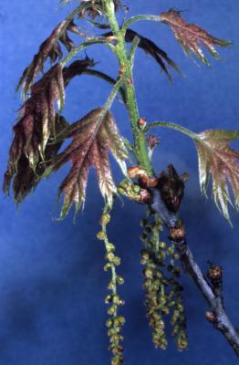 Quercus rubra (northern red oak), twig in bloom