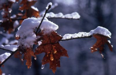 Quercus rubra (northern red oak), snow-covered twig and leaves
