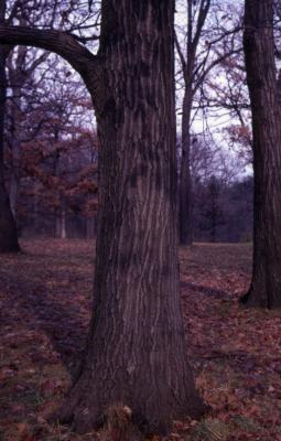 Quercus rubra (northern red oak), tree trunk and bark