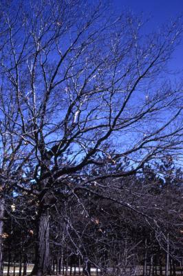 Quercus rubra (northern red oak), habit, spring