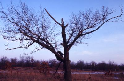 Quercus velutina (black oak), damaged tree habit, winter