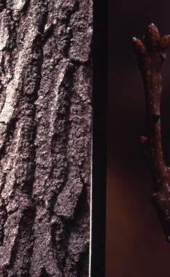 Quercus rubra (northern red oak), bark, twig and buds detail