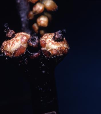 Quercus rubra (northern red oak), immature acorn cups detail