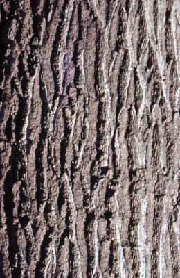 Quercus rubra (northern red oak), bark