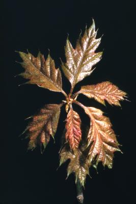 Quercus rubra (northern red oak), new leaves