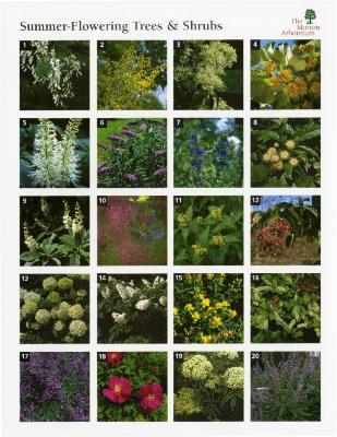 Summer-Flowering Trees & Shrubs
