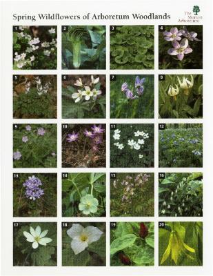Spring Wildflowers of Arboretum Woodlands