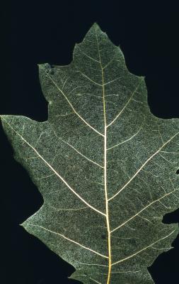 Quercus rubra (northern red oak), leaf detail