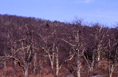 Quercus rubra (northern red oak), bare trees on hill