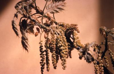 Quercus rubra (northern red oak), emerging catkins and leaves detail