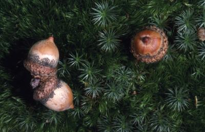 Quercus rubra (northern red oak), three acorns