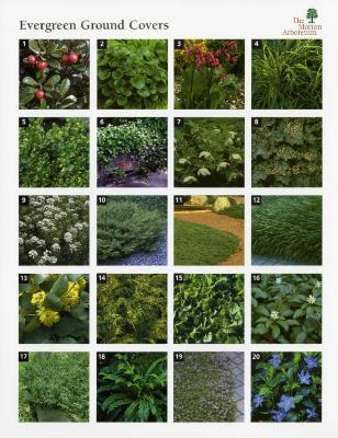 Evergreen Ground Covers