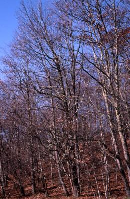 Quercus rubra (northern red oak), mostly bare trees