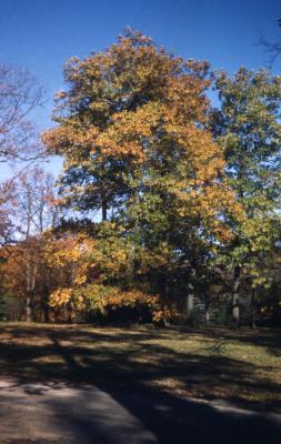 Quercus rubra (northern red oak), habit, fall