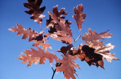 Quercus velutina (black oak), leaves detail