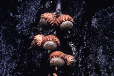 Quercus velutina (black oak), pairs of acorns detail