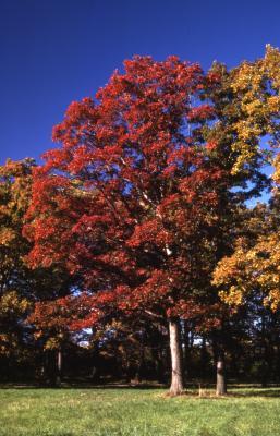 Quercus texana (nuttall's oak), habit, fall