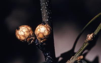 Quercus velutina (black oak), immature acorns detail