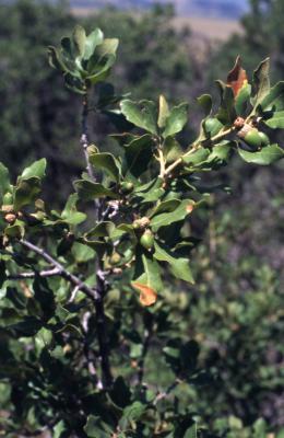 Quercus undulata (wavy-leaved oak), leaves and acorns detail