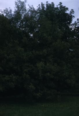 Quercus robur 'Asplenifolia' (Fern-leaved English oak), habit, fall