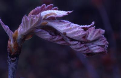 Quercus (oak), young leaves emerging from bud