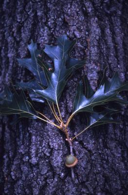 Quercus velutina (black oak), acorn, leaves, bark