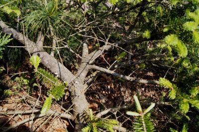 Abies ×arnoldiana 'Poulsen' (Poulsen Arnold Fir), bark, branch